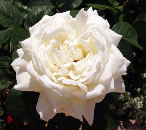 rosier jeanne moreau