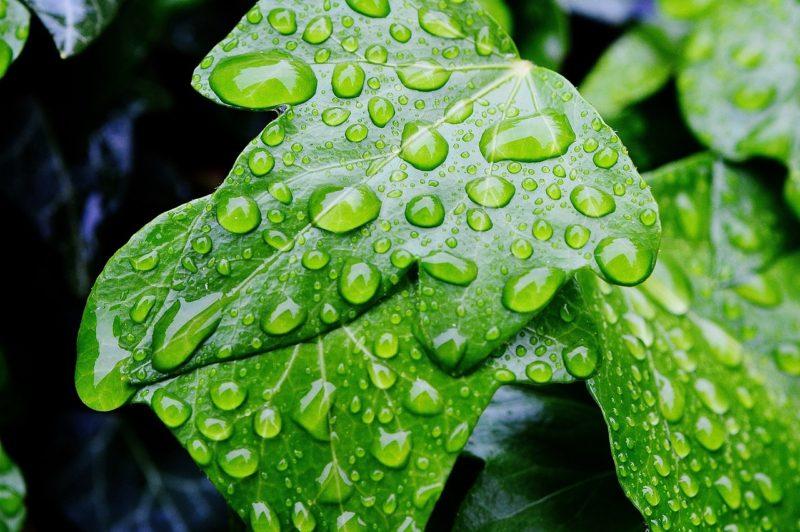 ivy-771139_1280