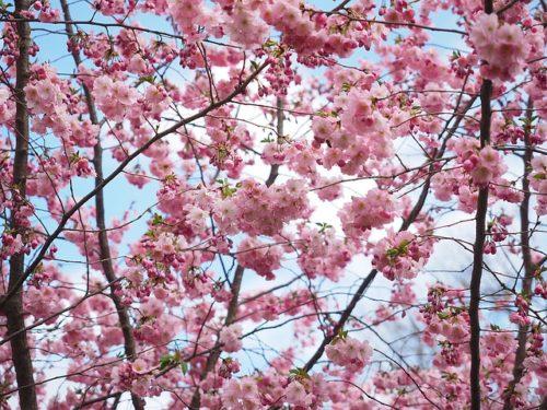 semaine 2 - cerisier du japon