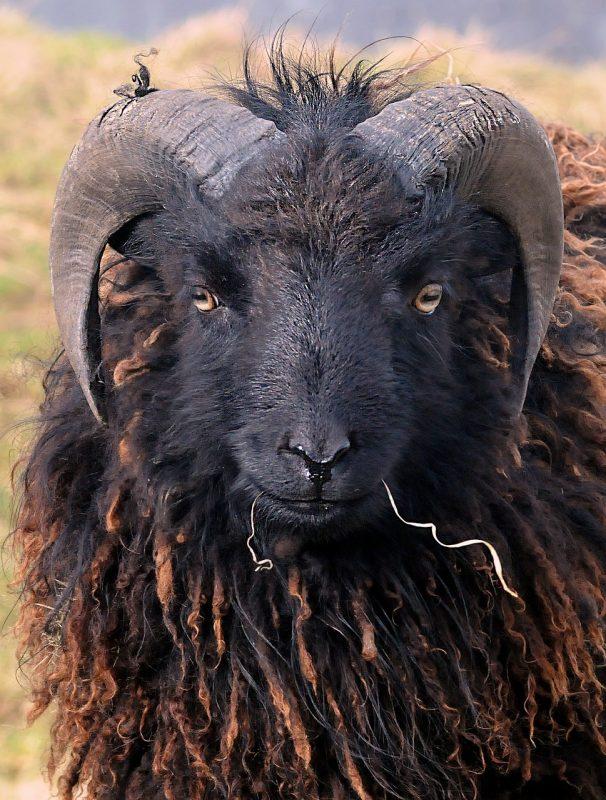 petit elevage familial bio mouton fouettant
